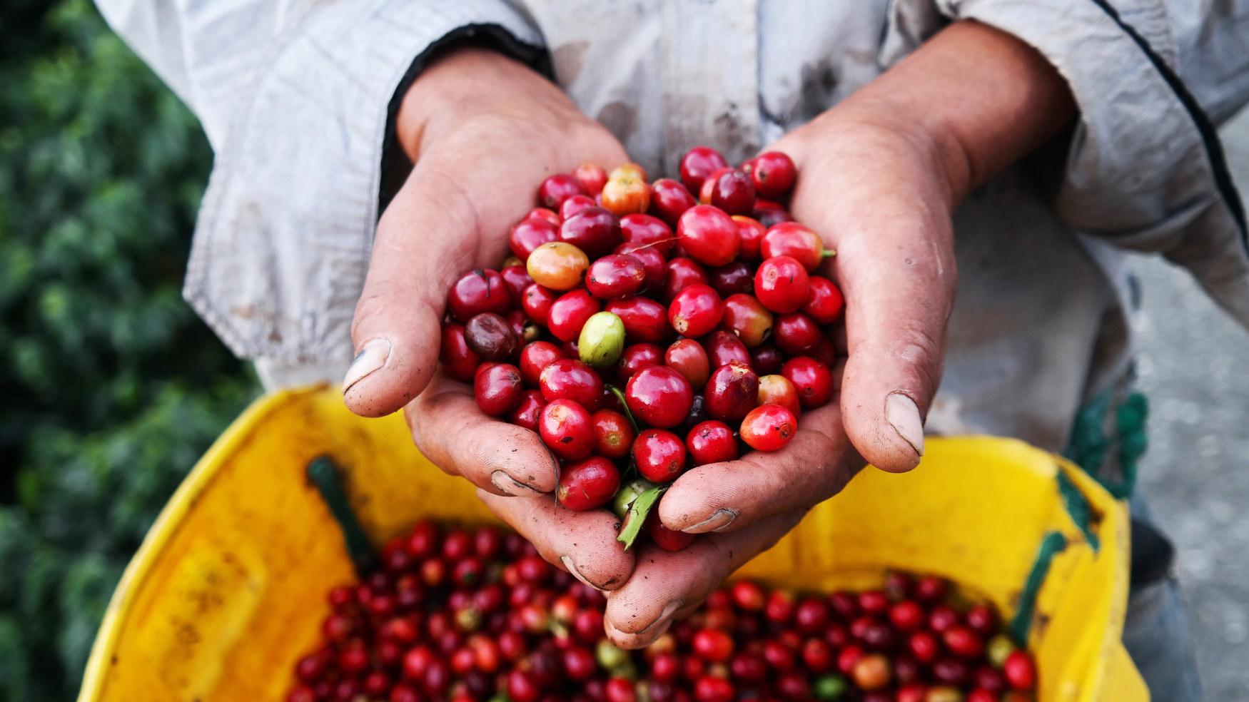 収穫されたコーヒー果実を示す農業の手